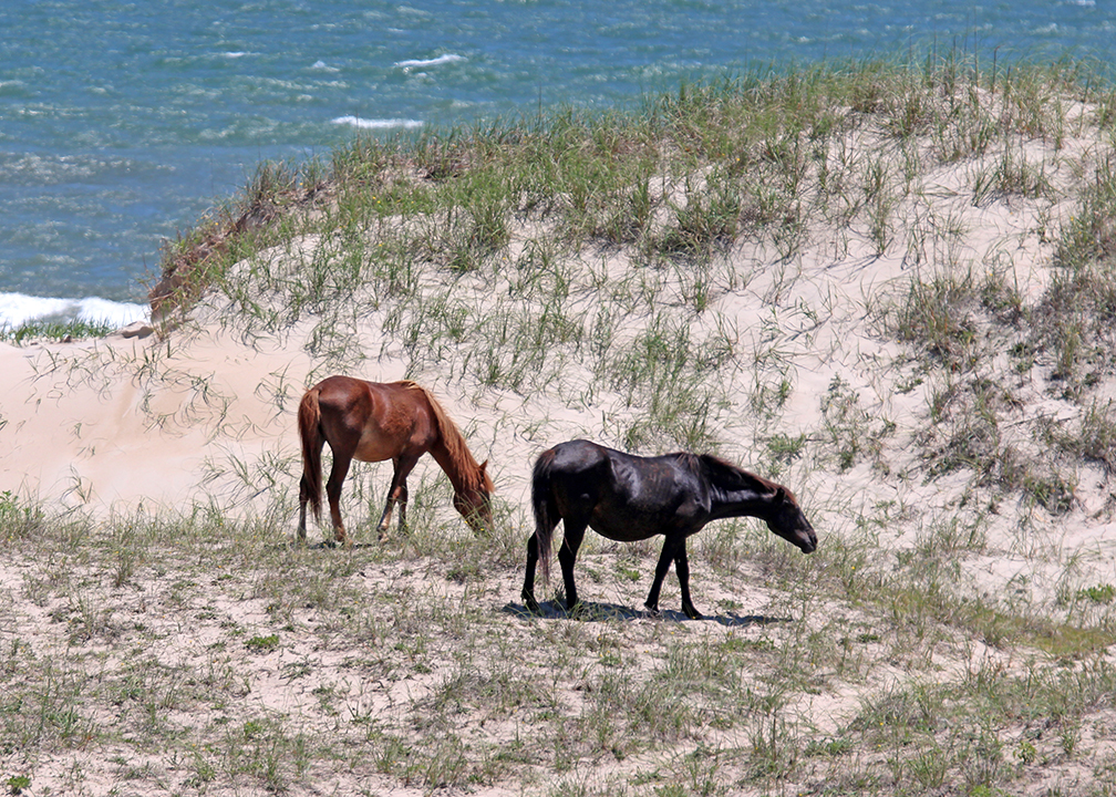 Corolla Wild Horses of Currituck County, NC